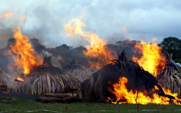 I always felt elephants would need an elephantine approach to save them from extinction. Might burning 105 tons of ivory in Kenya be it?