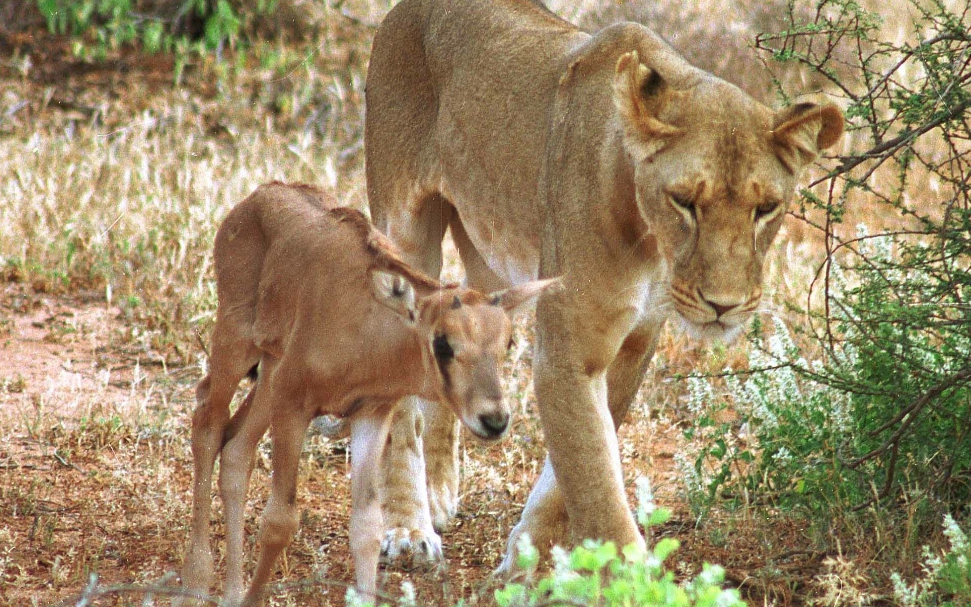 Lioness Adopts Baby Oryx in Samburu