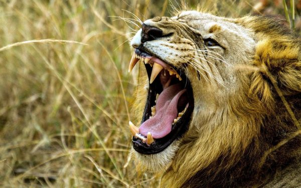 8 Tricks to Survive an Attack from an African Lion