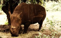 New evidence, based on genetic data obtained, is now pointing towards the possibility of a new rhino species - the northern white rhino.