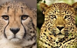 If you thought speed and size were the only variations between a leopard and a cheetah, then you are in for a surprise because these 2 felines are as different as night and day.