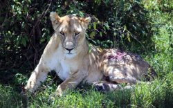 Siena, the famous Mara lioness severely gored by a buffalo is wounded again! She was spotted early last Saturday with her wound reopened after a fight with another lioness.