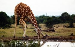 Although the three species of Kenyan Giraffes look similar, there are a few subtle differences you can use to tell them apart. Read to find out more.