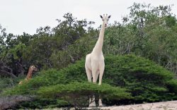 The death of the white giraffes of Hirola profoundly saddens me. I hope we can learn how lucky we were to have had them in our custody.