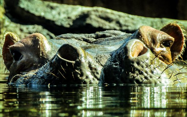 After reading these 11 facts about hippos, you will discover they are hugely underrated animals with exceptional attributes.